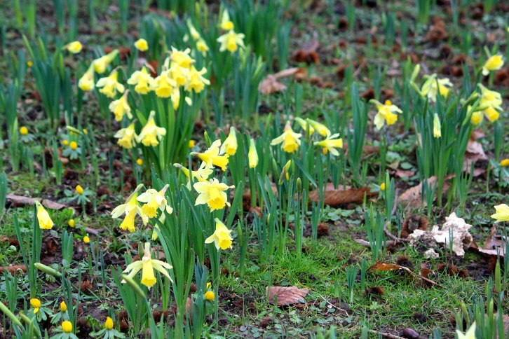 Goodnestone's earliest daffodils bloom in the shelter of an ancient sweet chestnut