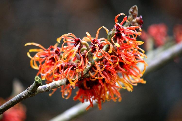 A fiesty, blood-orange witch hazel proves a winter garden need not be a dull garden