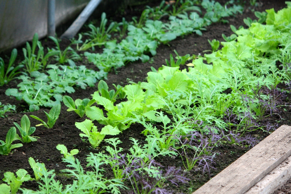 An early crop of salad leaves, protected by a polytunnel