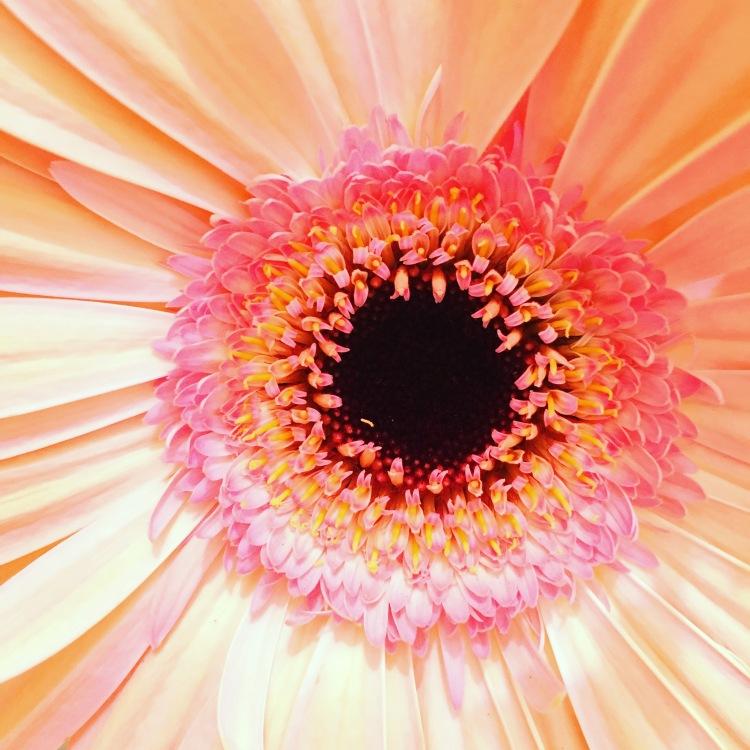 Gerbera flower, detail