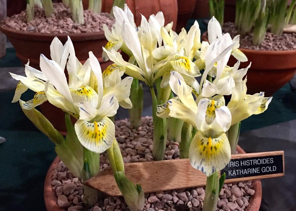 Iris histrioides 'Katherine's Gold'