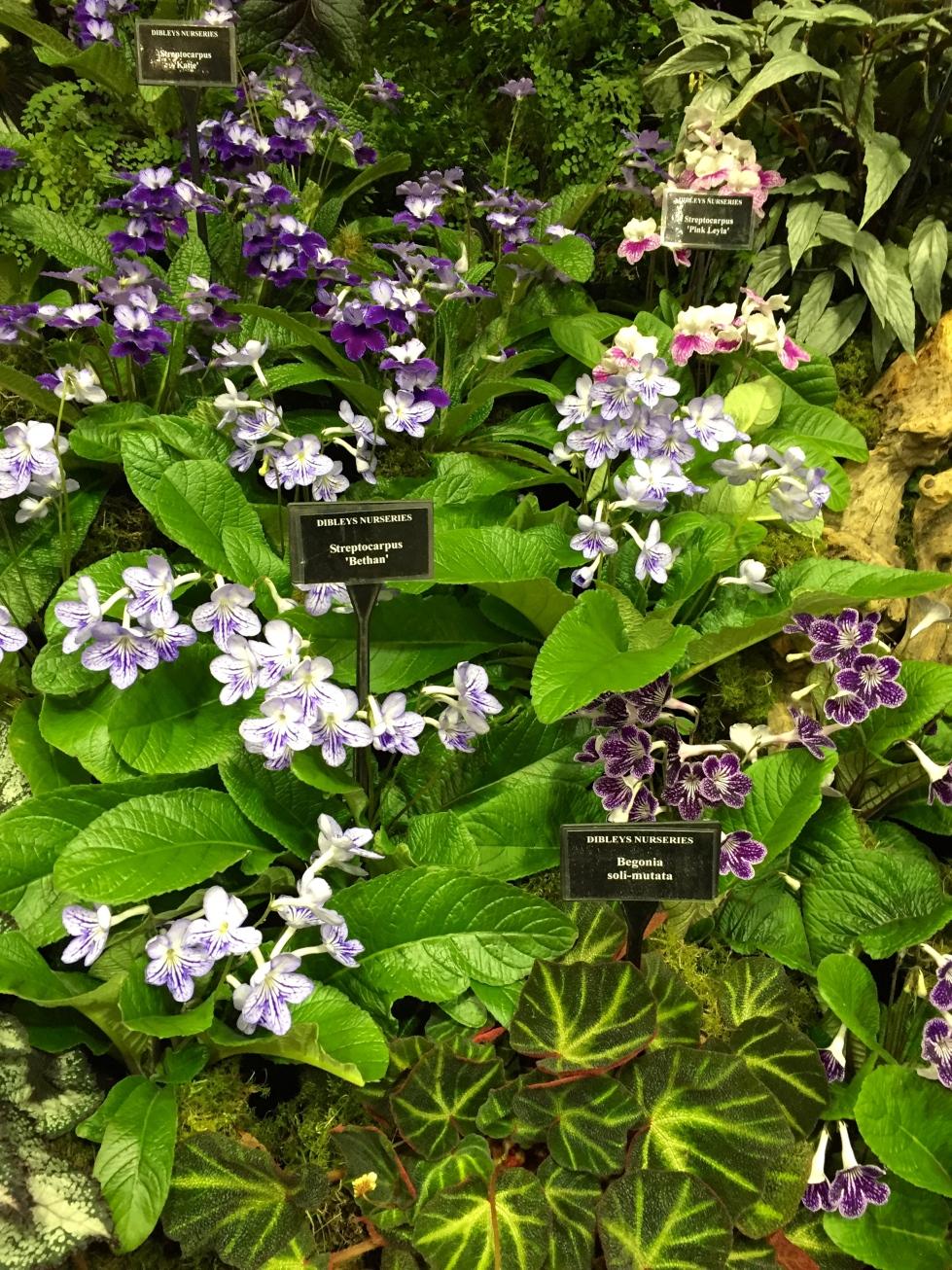 Dibley's display of streptocarpus and begonias