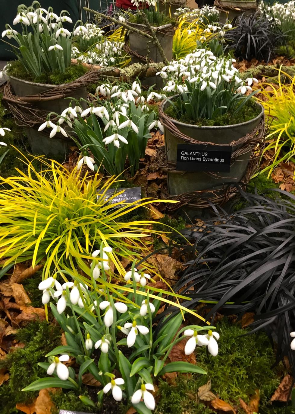 Avon Bulbs' gold medal winning display of galanthus