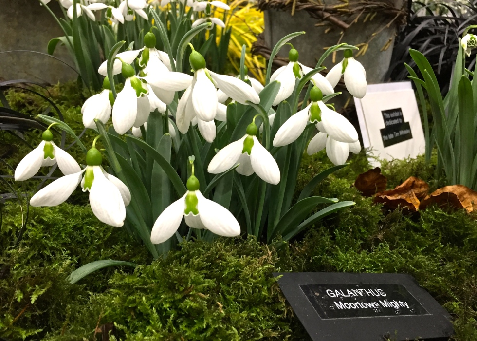 Galanthus 'Moortown Mighty'