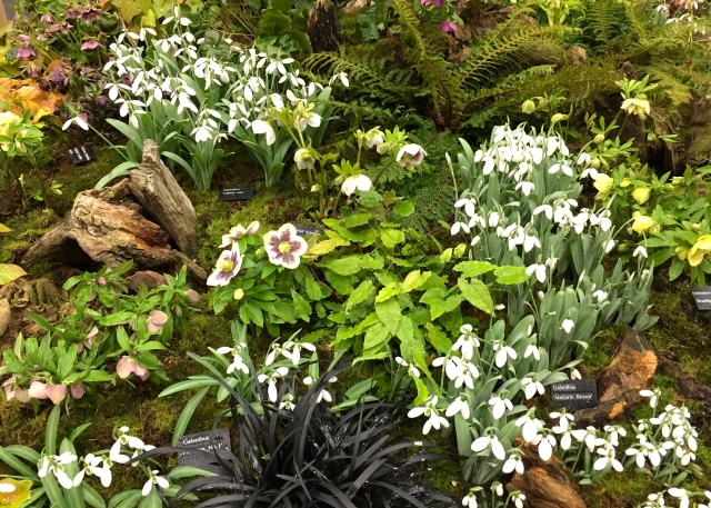 Harvey's Garden Plants, hellebores and snowdrops, RHS Early Spring Plant Fair 2017