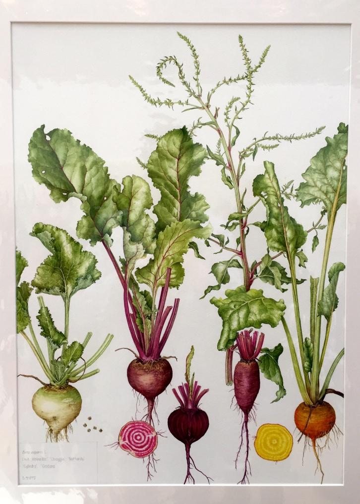 Beta vulgaris, painted by Bridget Gillespie