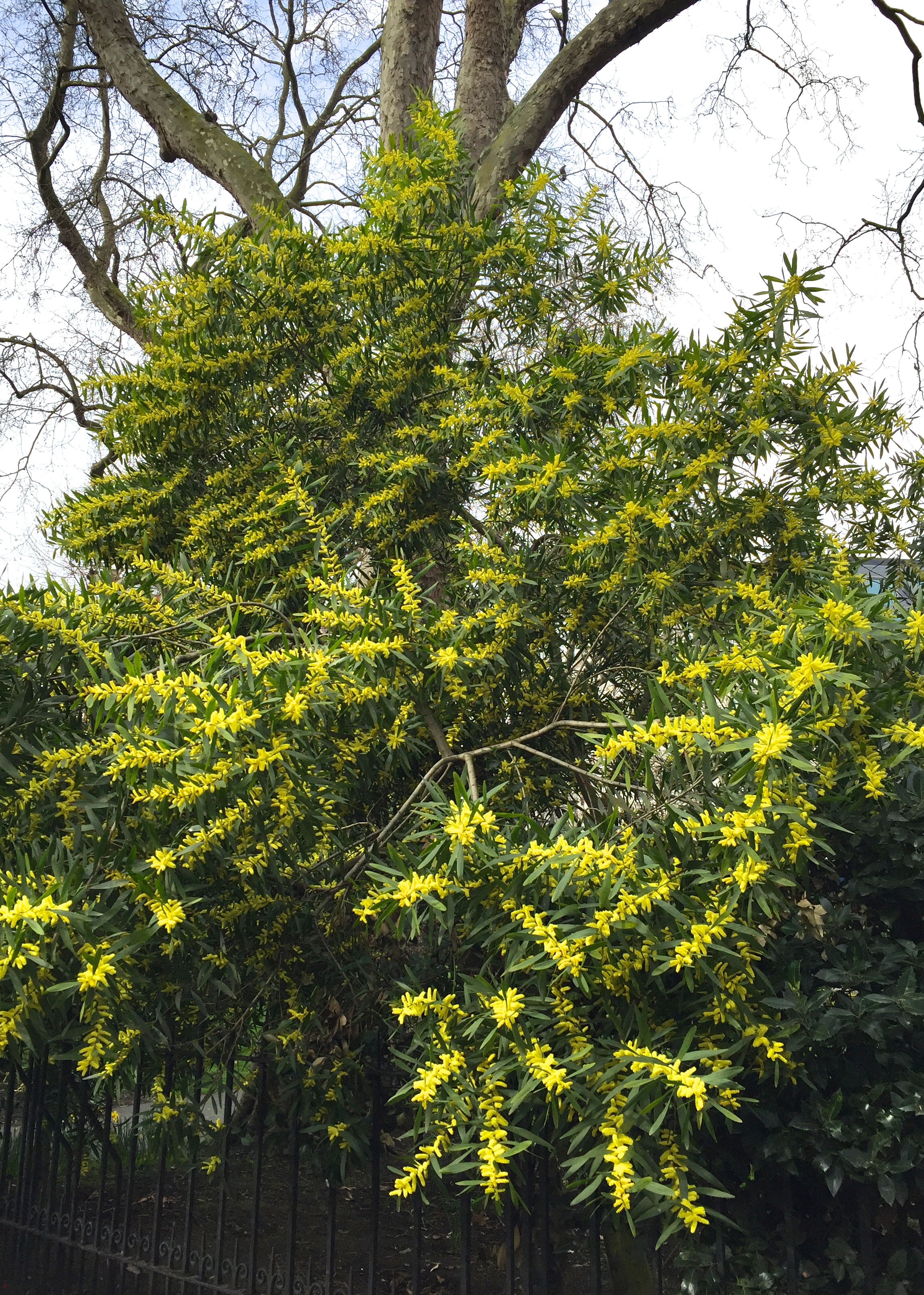 Daily Flower Candy Acacia Longifolia The Frustrated Gardener