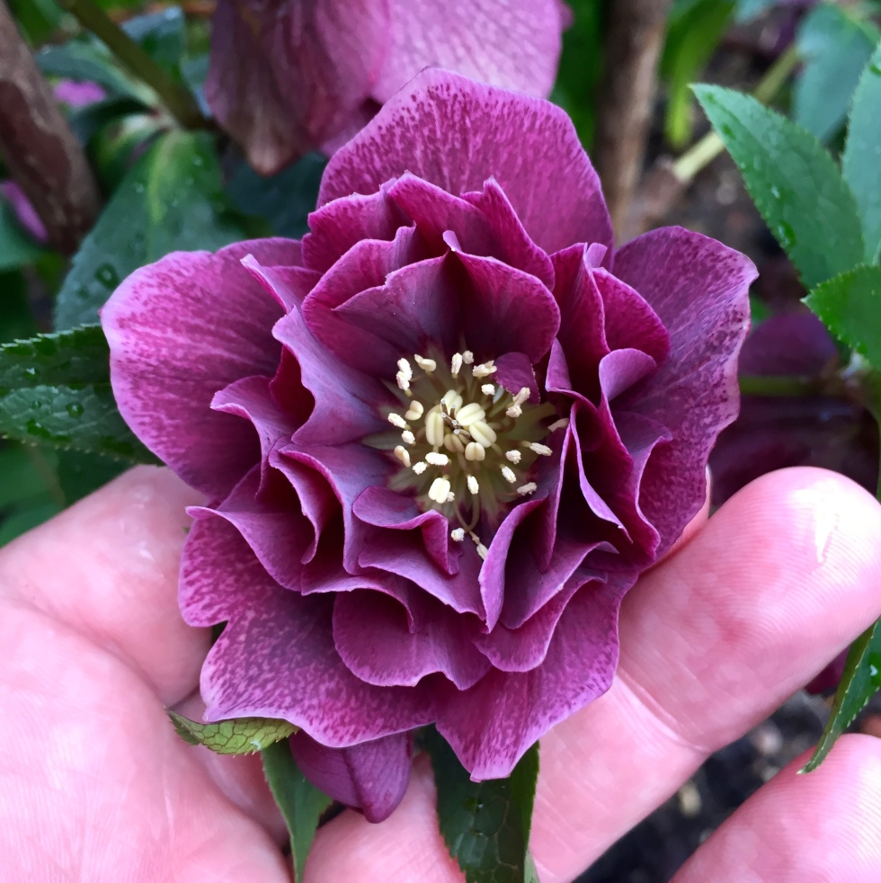 Helleborus 'Bosvigo Doubles', March 2017