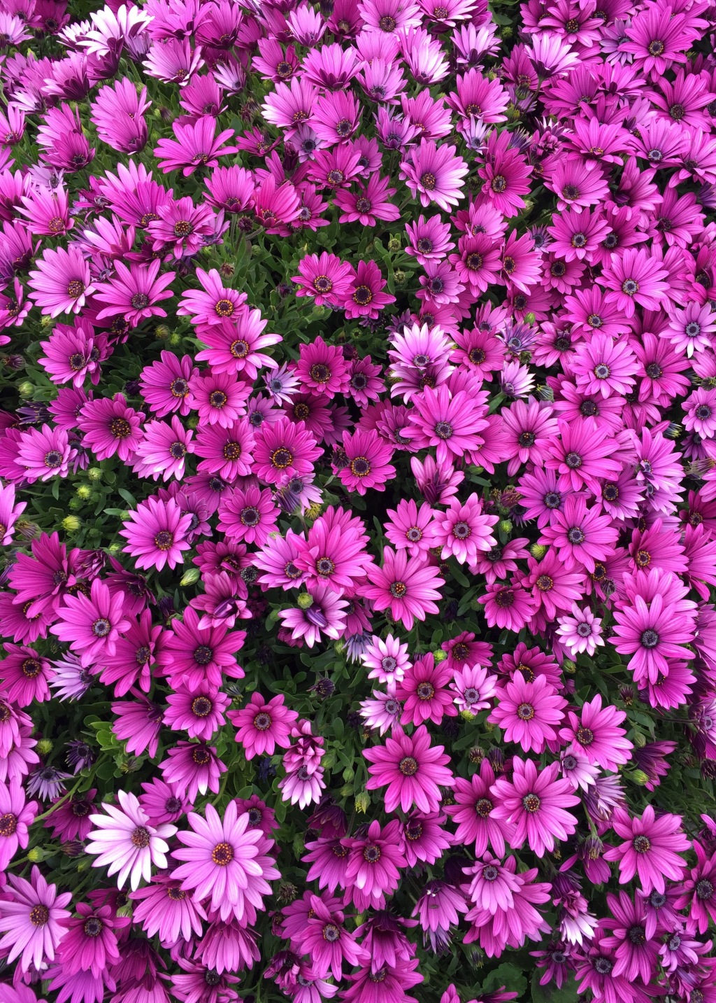 Daily Flower Candy Osteospermum The Frustrated Gardener