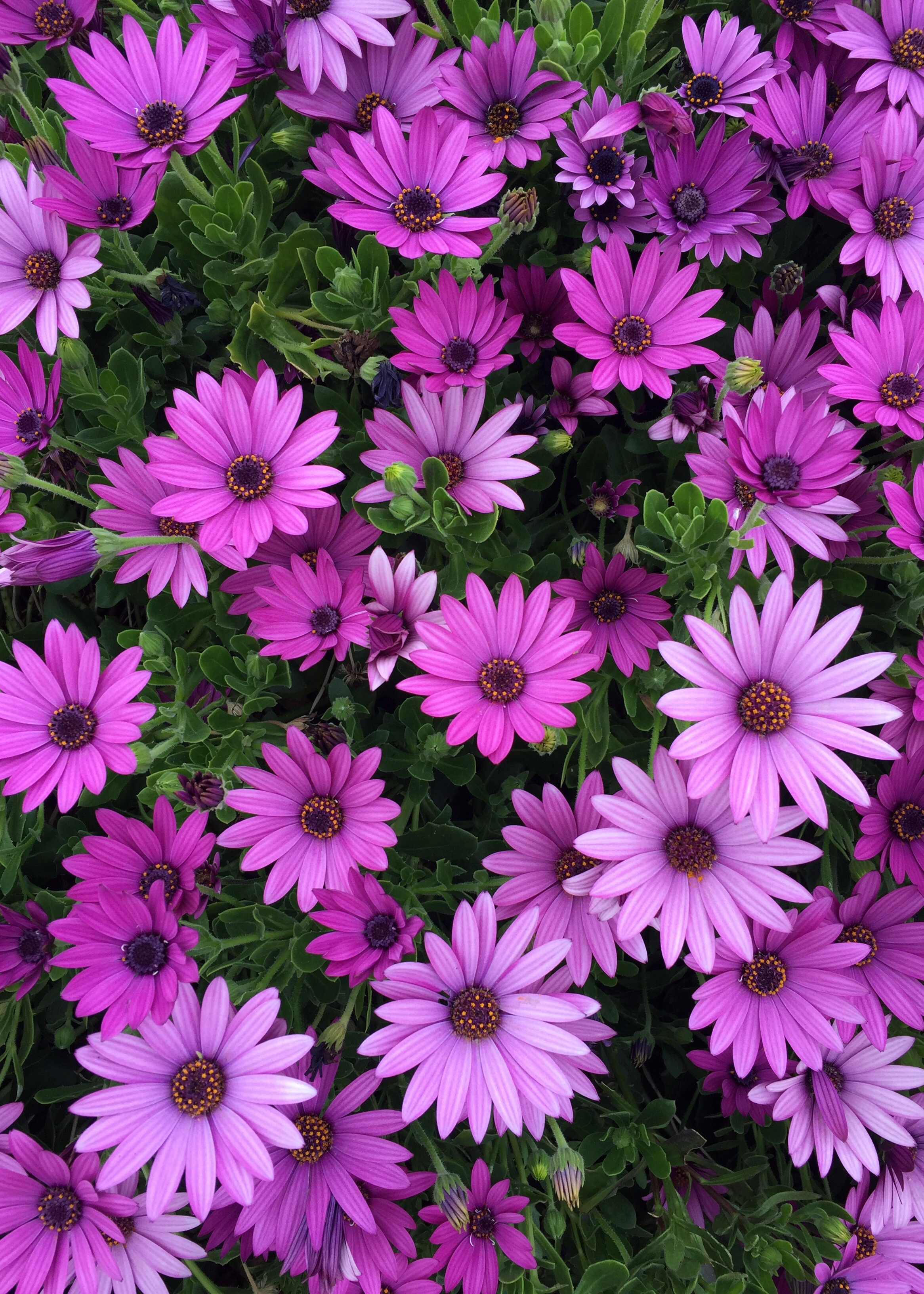 Daily flower candy osteospermum the frustrated gardener if you live by the coast or anywhere warm and dry then few plants are as colourful and rewarding so early in the season izmirmasajfo