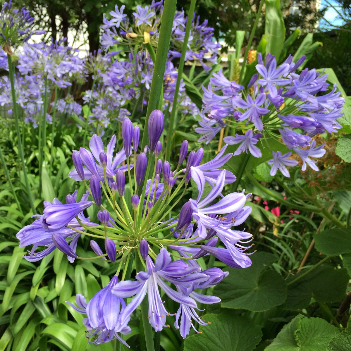 How to Persuade Agapanthus to Flower
