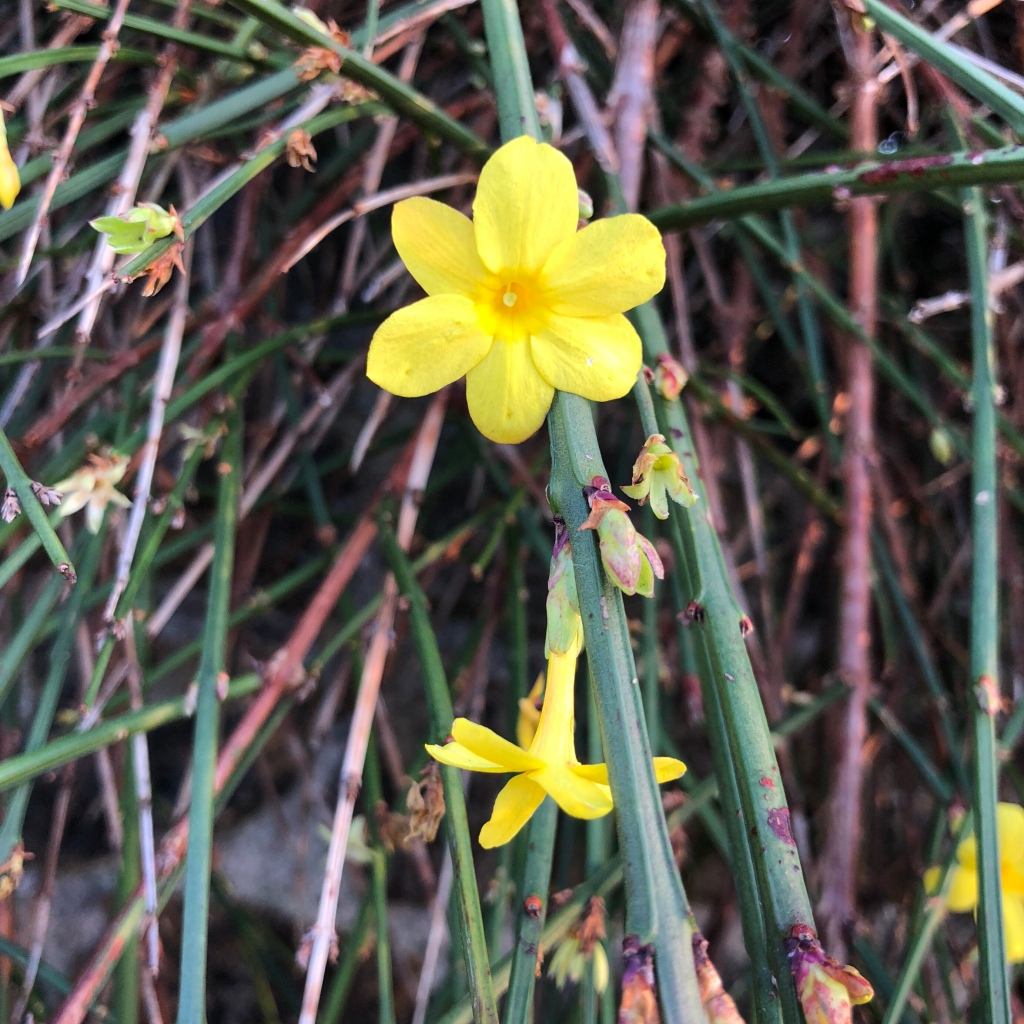 Daily flower candy jasminum nudiflorum the frustrated gardener jasminum nudiflorum winter jasmine most plants when izmirmasajfo Image collections