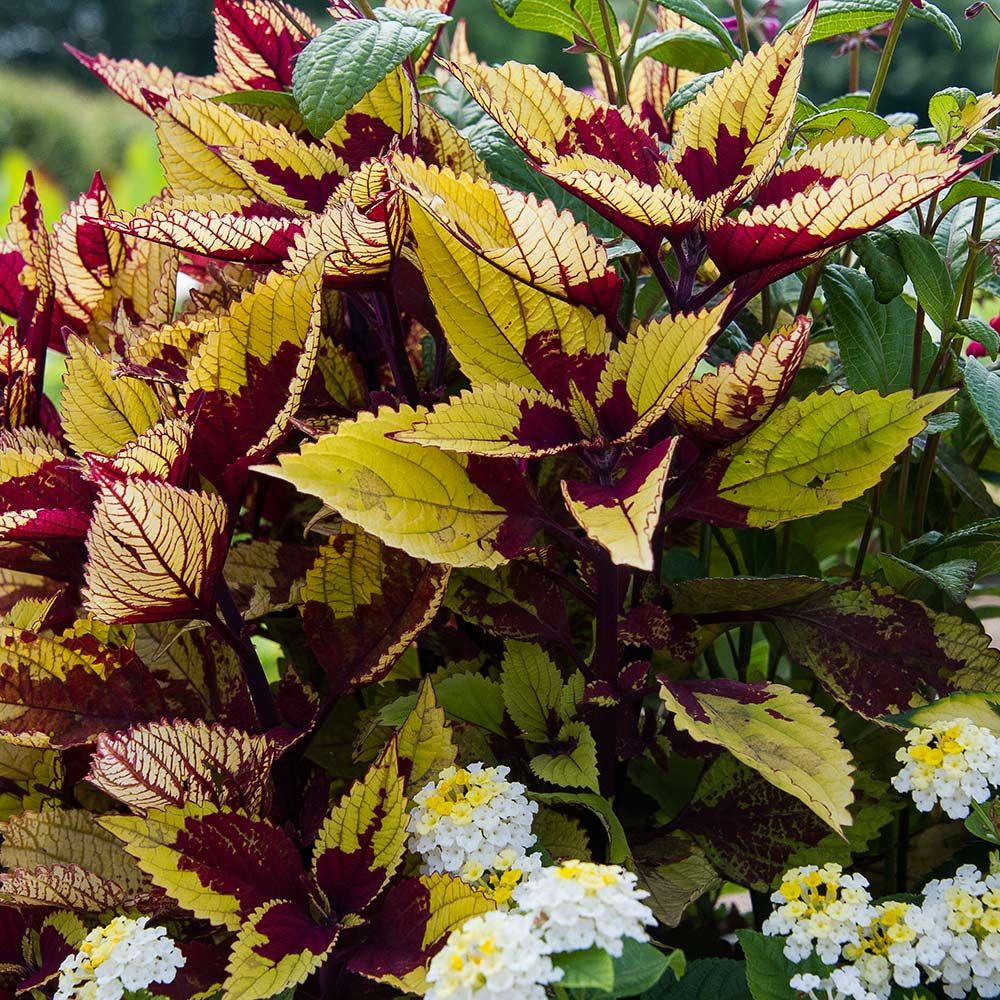 Where Have All The Coleus Gone The Frustrated Gardener