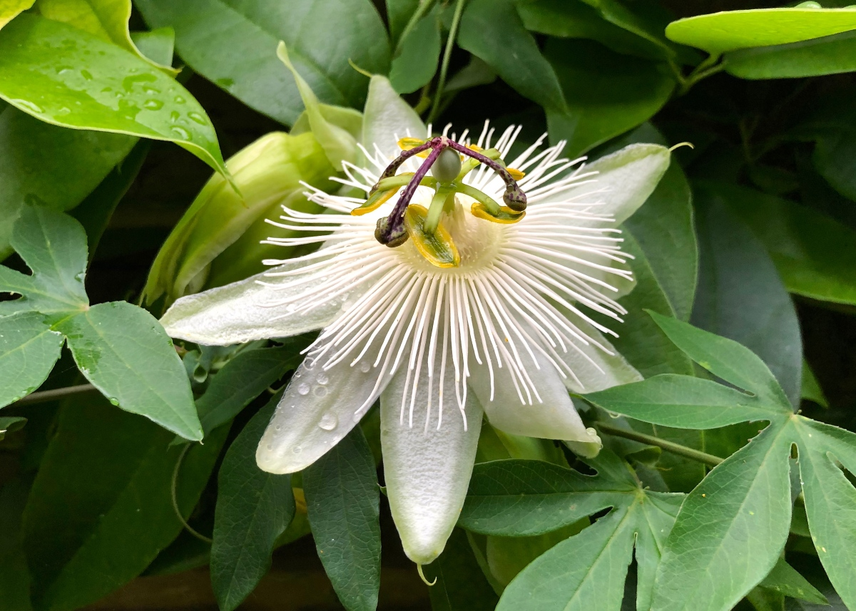 Plant Profile: Passiflora 'Snow Queen'