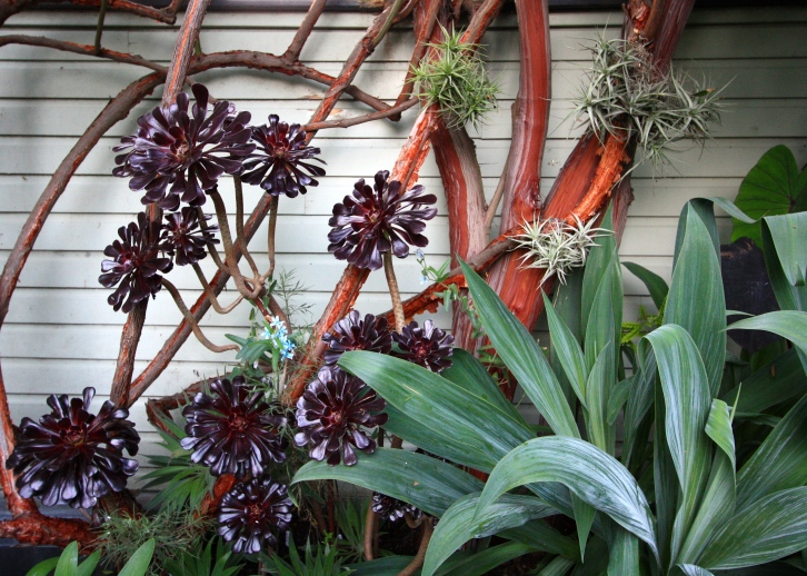 Tillandsia, aeonium, beschorneria and lyonothamnus at The Watch House