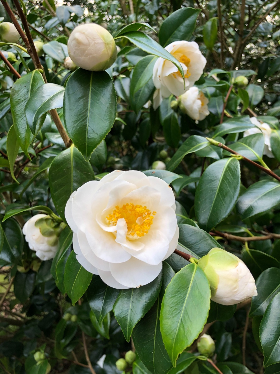Camellias: Harbingers of Spring