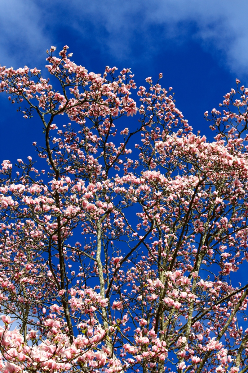 Magnolia × veitchii 'Peter Veitch'
