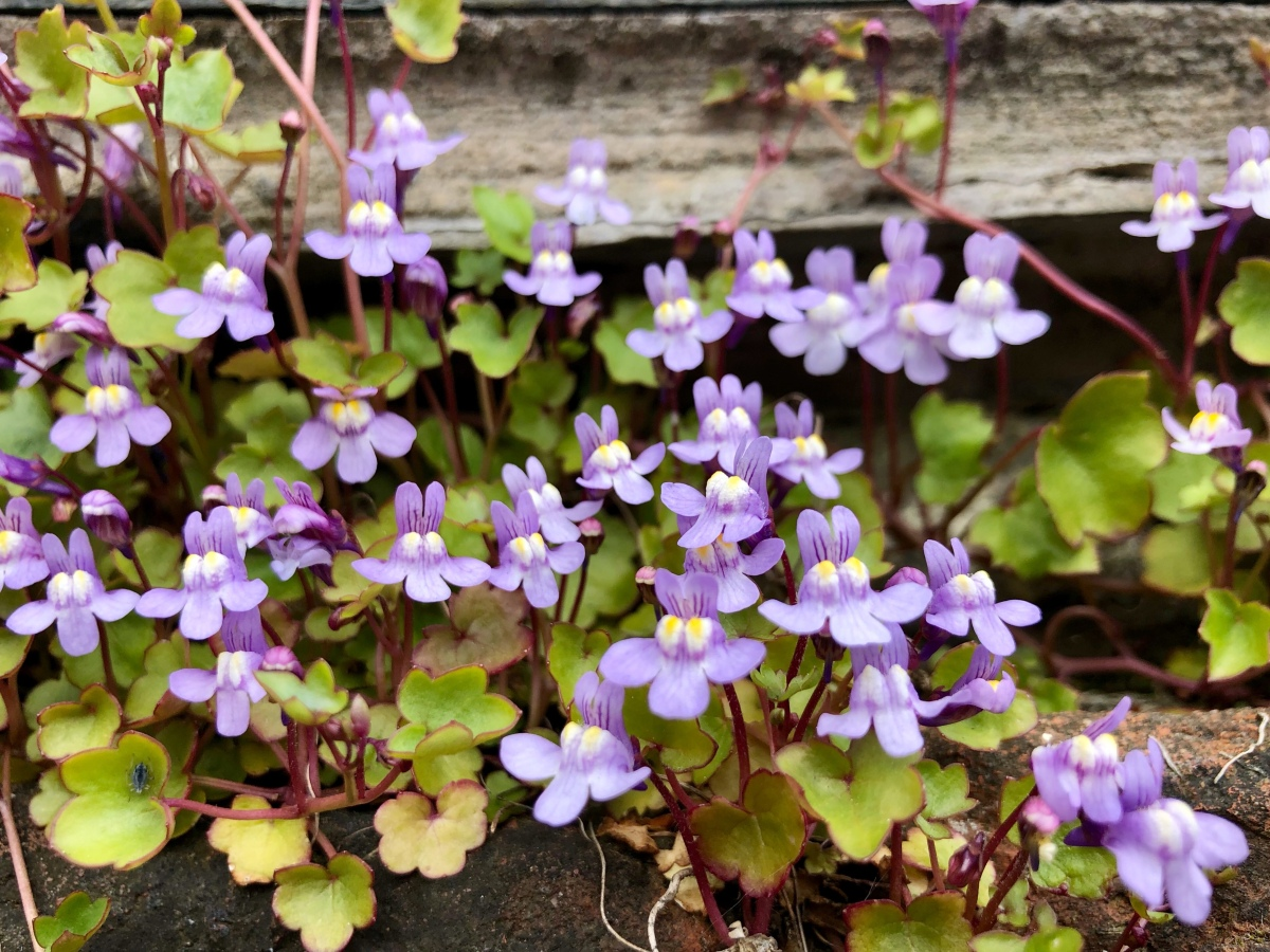 Plant Profile: Ivy-leaved toadflax