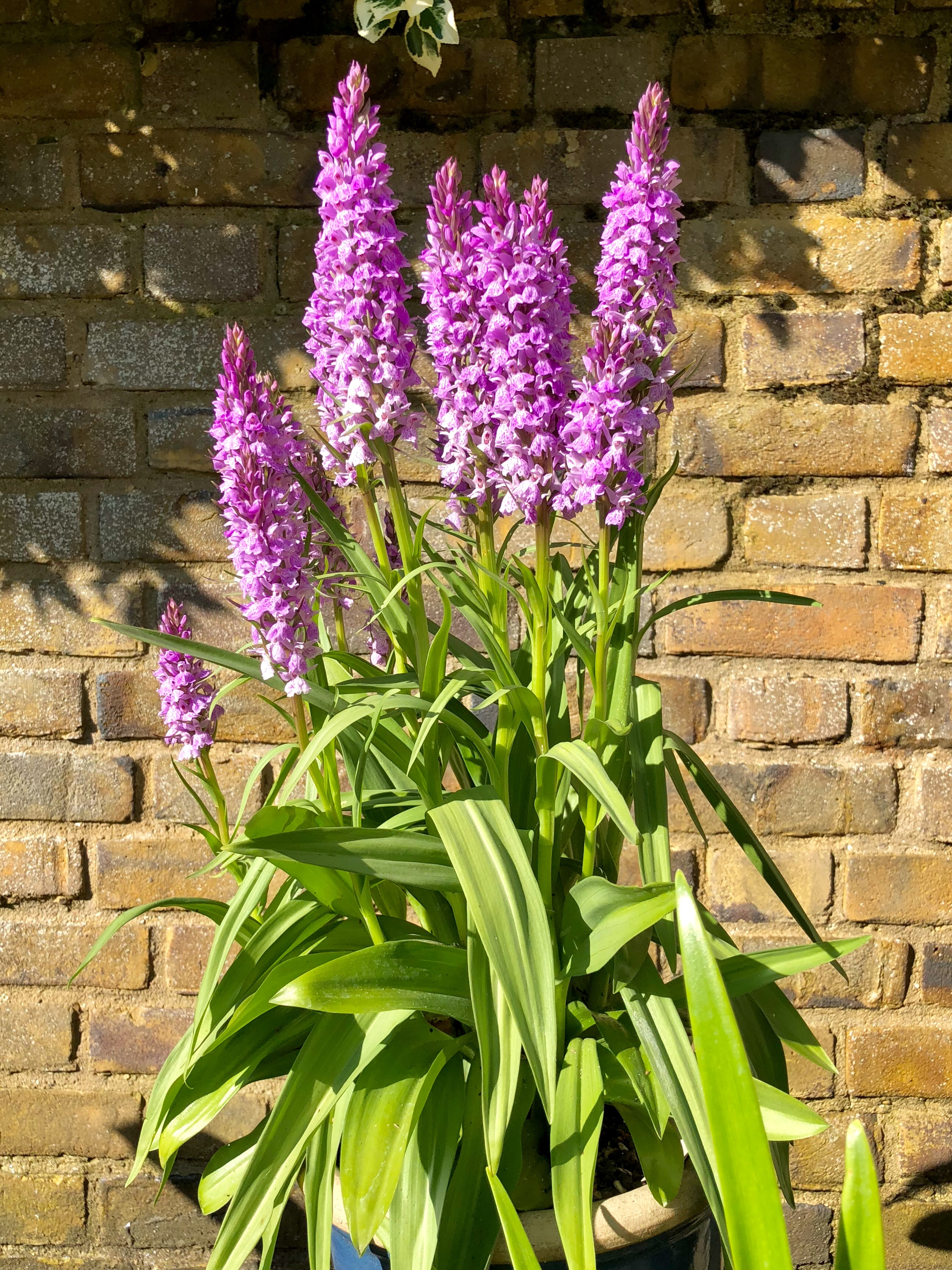 Getting To Grips With Hardy Orchids The Frustrated Gardener