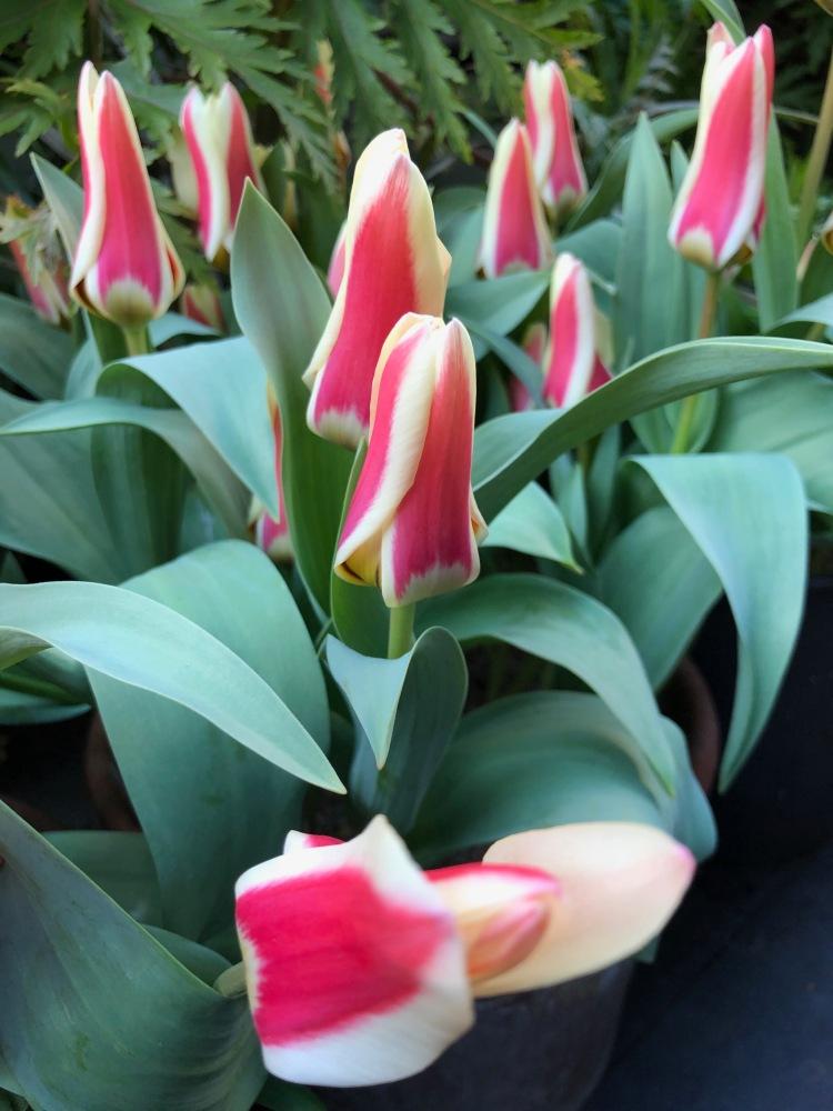 Tulipa 'Zombie' in bud